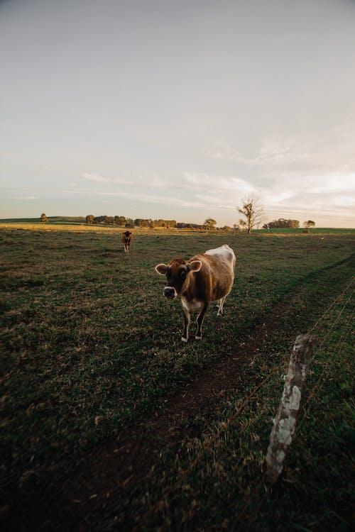 bò, cánh đồng, chăn nuôi