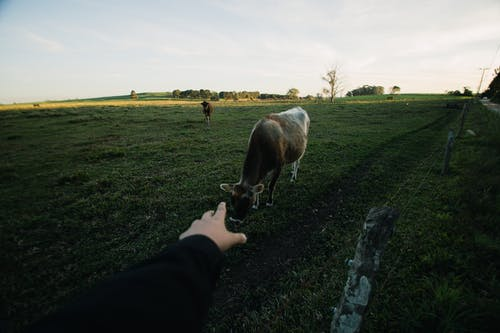 Person's Left Hand Reaching Out to White and Gray Cattle on Grass Field