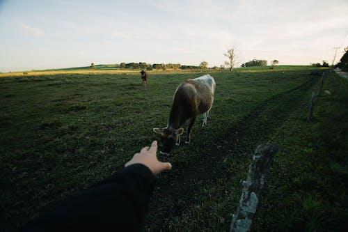 Photos gratuites de agriculture, animaux, barrière, bovins