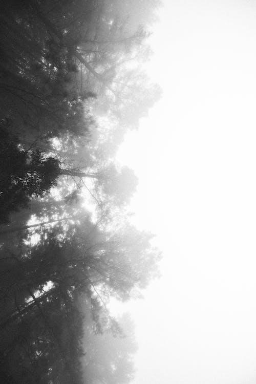 Ingyenes stockfotó fák, fekete-fehér, háttérvilágítás, köd témában
