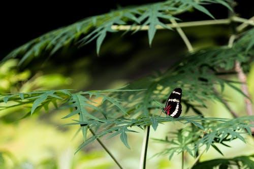 Бесплатное стоковое фото с heliconius hewitsoni, бабочка, завод, листья