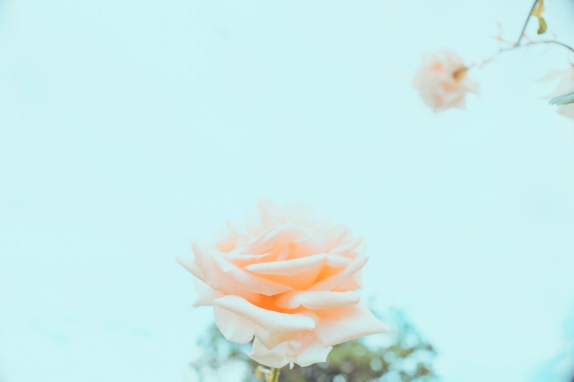 blomma, flora, kronblad