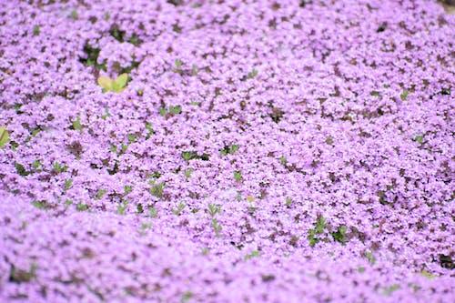 Безкоштовне стокове фото на тему «fleure, purpal, квітка, колір»