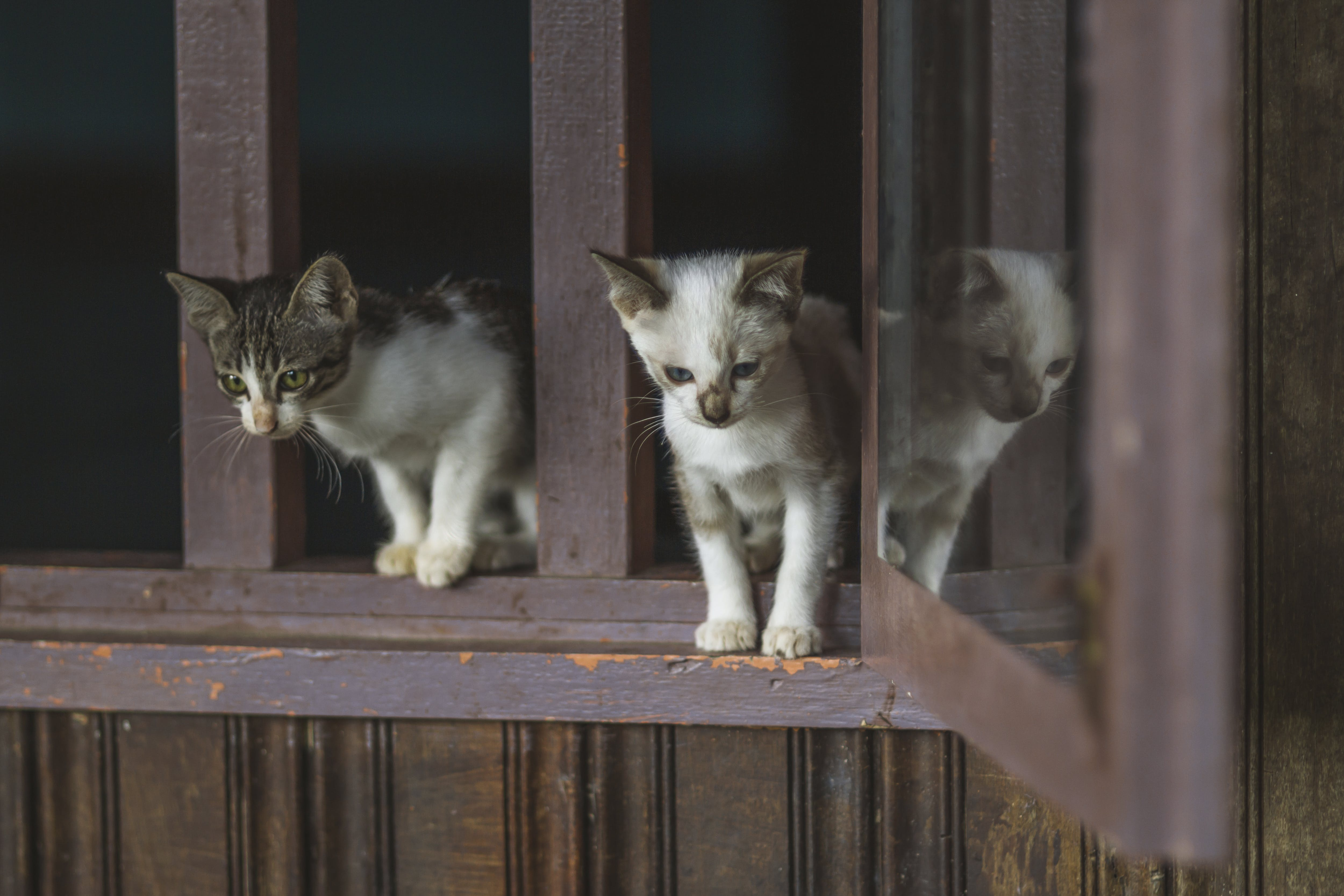 Darmowe zdjęcie z galerii z domowy, koci, kocięta, kot domowy