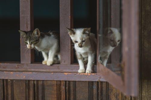 Two Gray Kittens on Window Sill