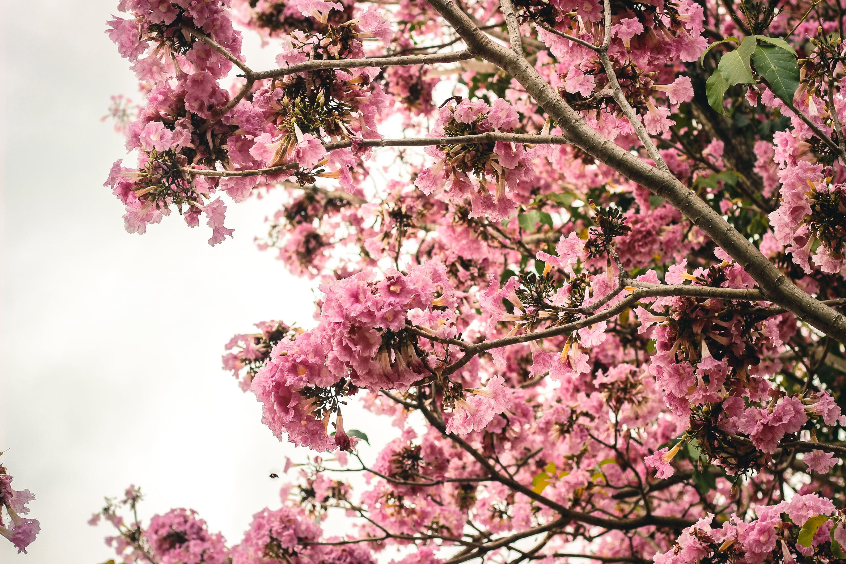 Free stock photo of bloom, blooms, cherry blossom, pink