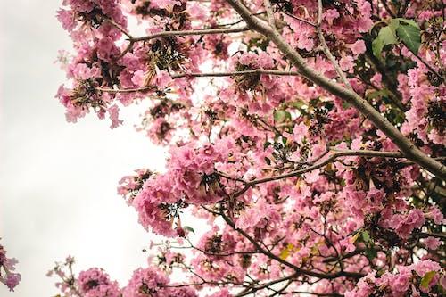 櫻花, 綻放 的 免費圖庫相片