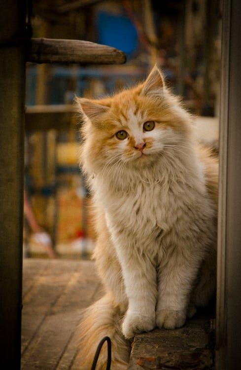 anak kucing, berbulu halus, bulu
