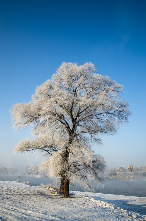 White-leafed Tree Beside Body of Water