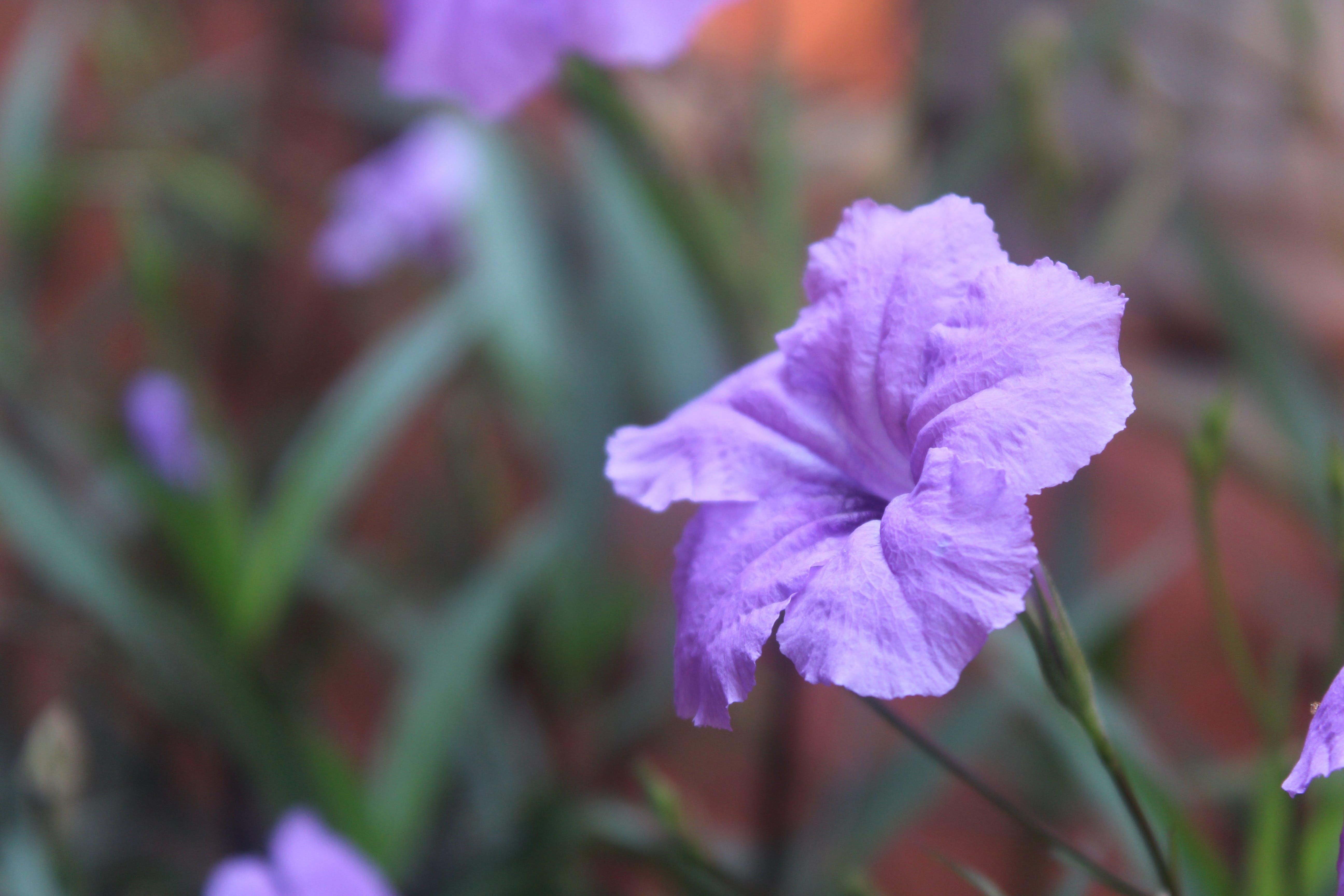 Free stock photo of flower, purple flowers