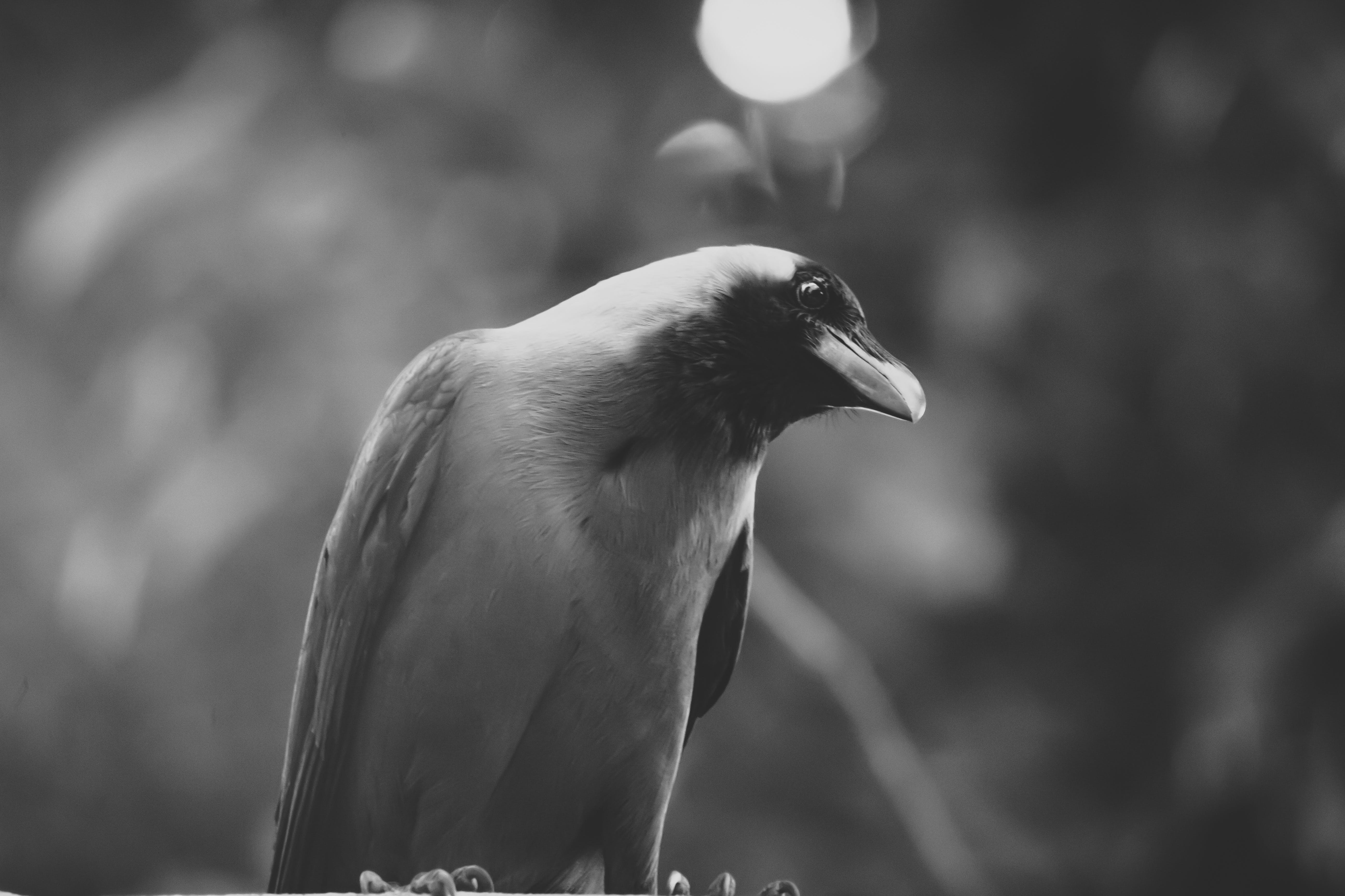 Grayscale Photography Of House Crow