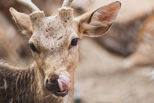 Darmowe zdjęcie z galerii z dzika przyroda, dzikie zwierzę, fotografia zwierzęcia, jeleń