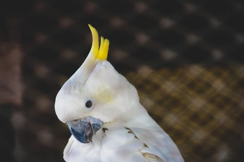 White Cockatoo With Yellow Crest