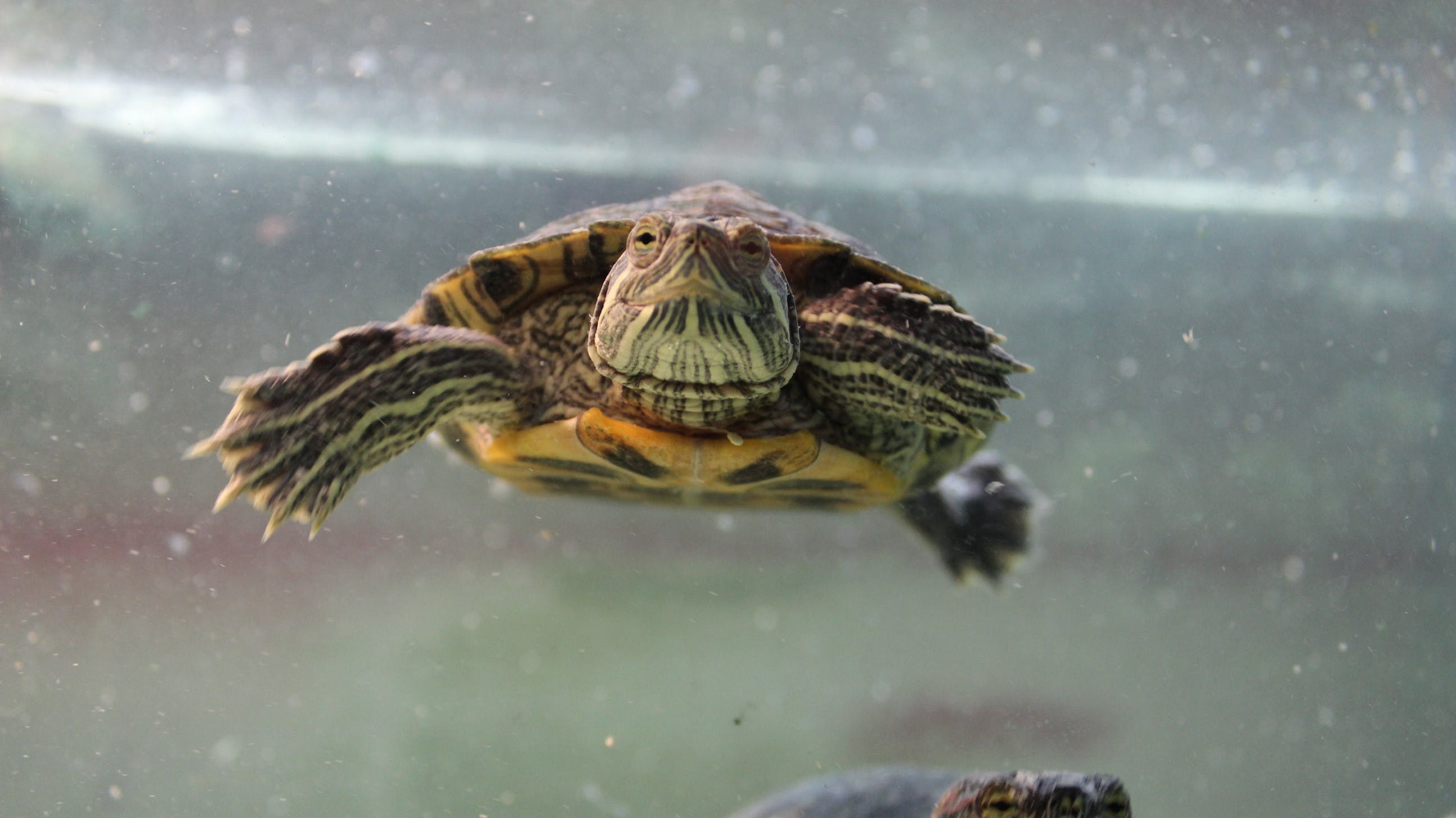 Free stock photo of aquatic, Red Eared Slider, reptile, shell