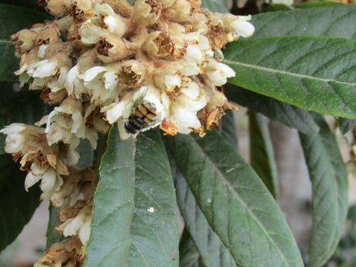 Free stock photo of flower, insect, loquat