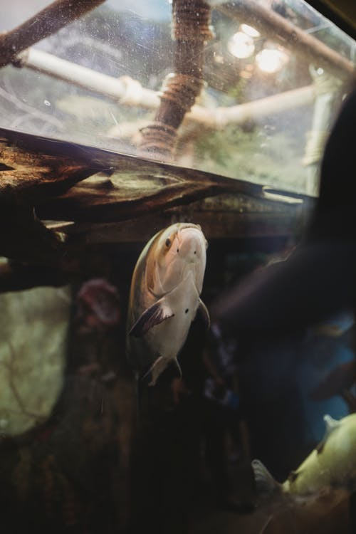 Free stock photo of animal, big fish, fish, fish tank