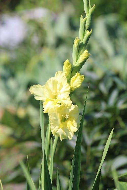 글라디올러스, 노란색, 녹색, 밝은의 무료 스톡 사진