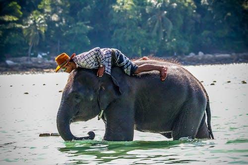 Free stock photo of elephant, water
