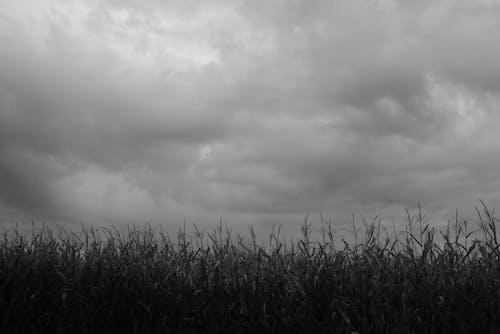 Free stock photo of cornfield, monochrome