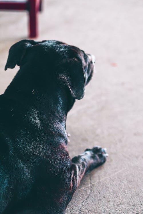 Ilmainen kuvapankkikuva tunnisteilla koira, thai koira