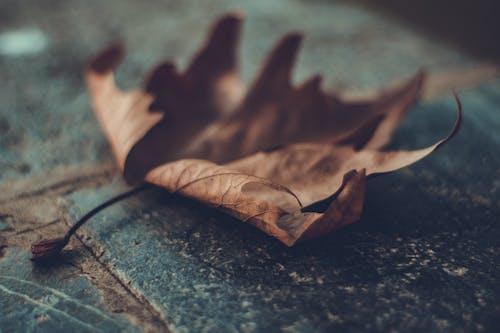 Foto stok gratis daun kering, daun maple, kedalaman lapangan, maple