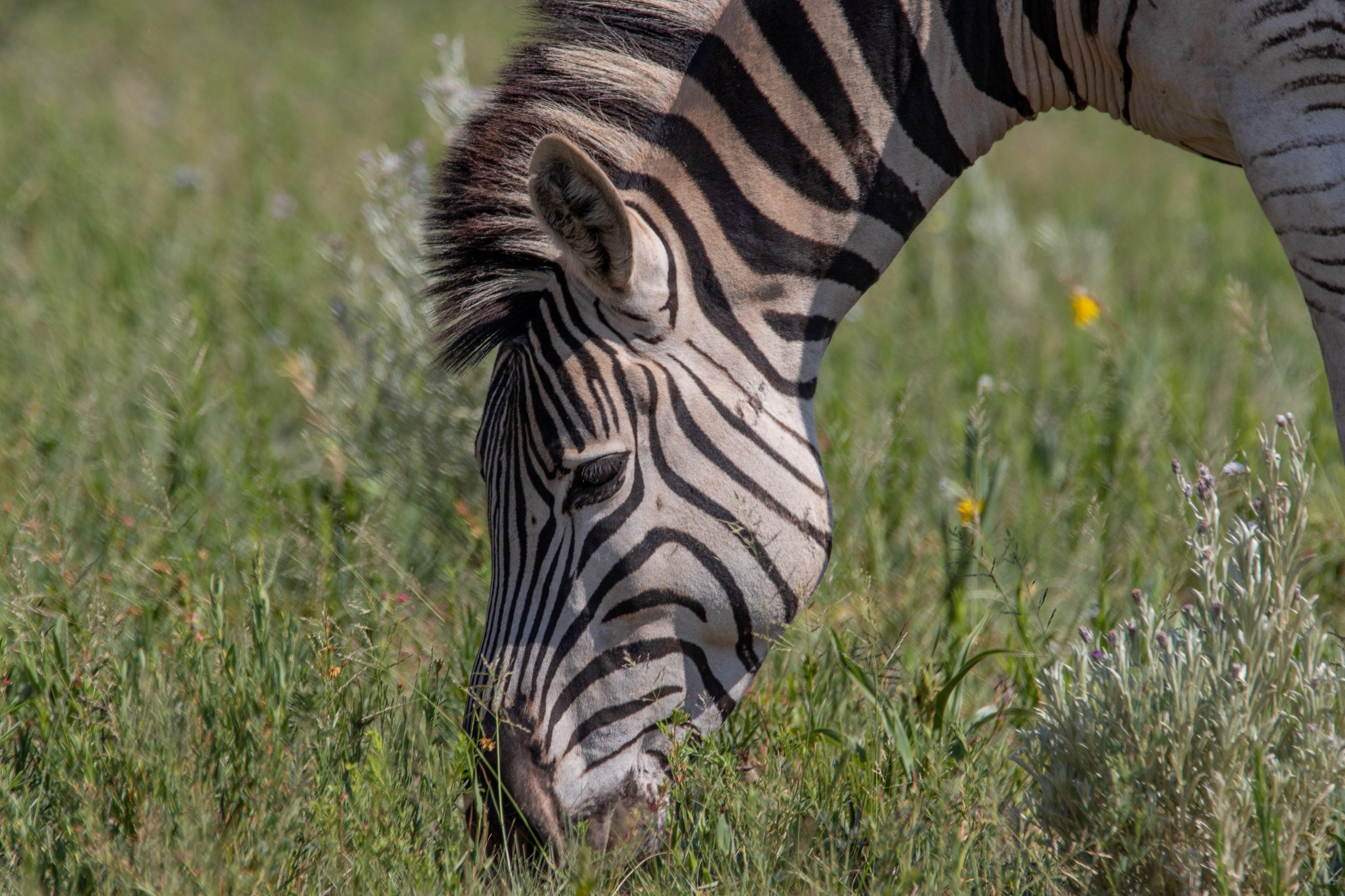 Free stock photo of animals, black and white, bush, grass