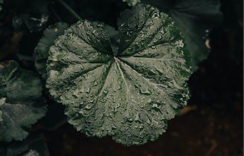 Gratis lagerfoto af dug, grøn, plante, våd