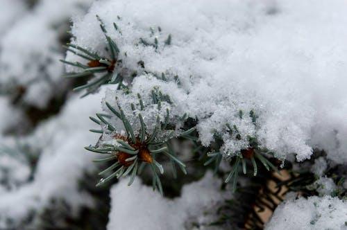 Snow Covered Pine Tree