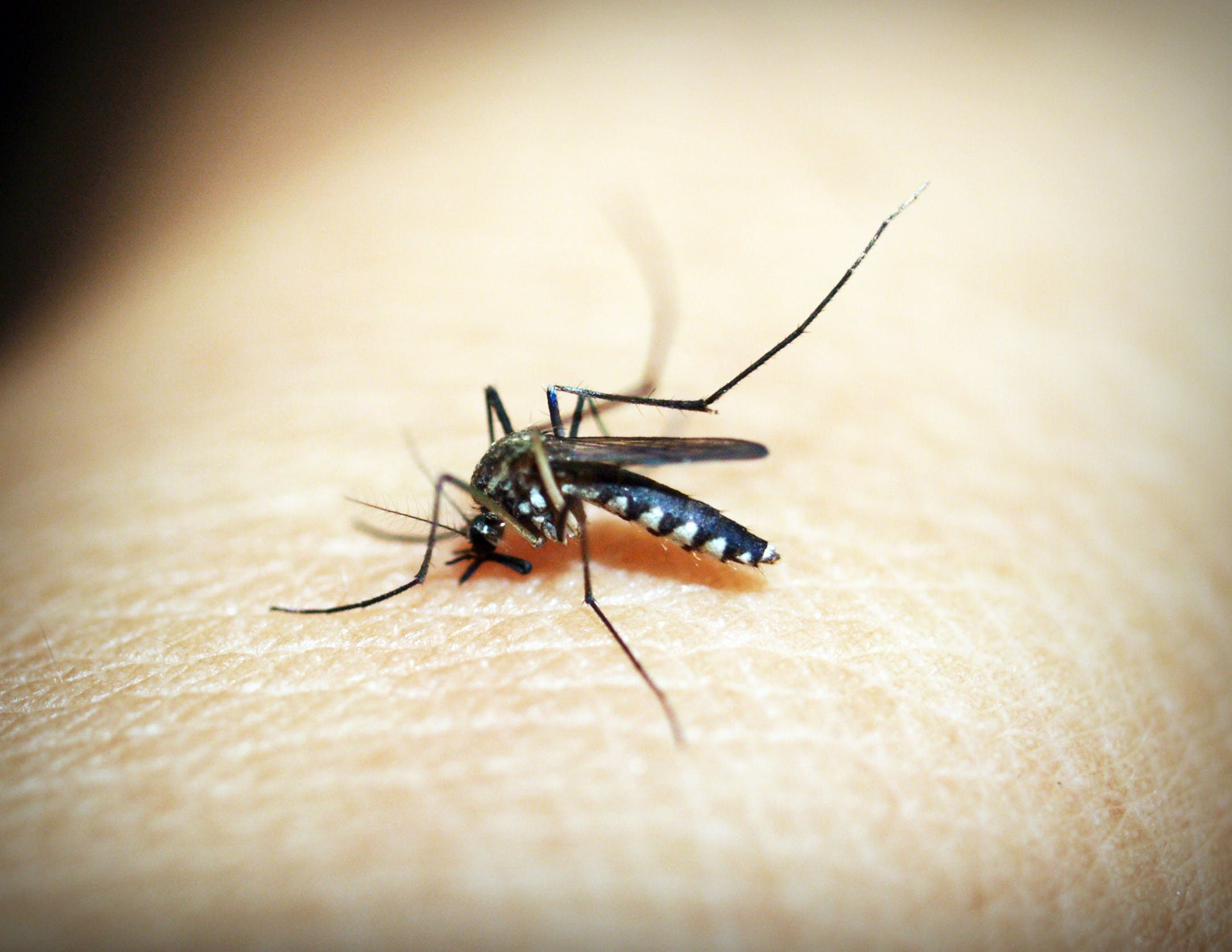 Black Mosquito on Person's Skin