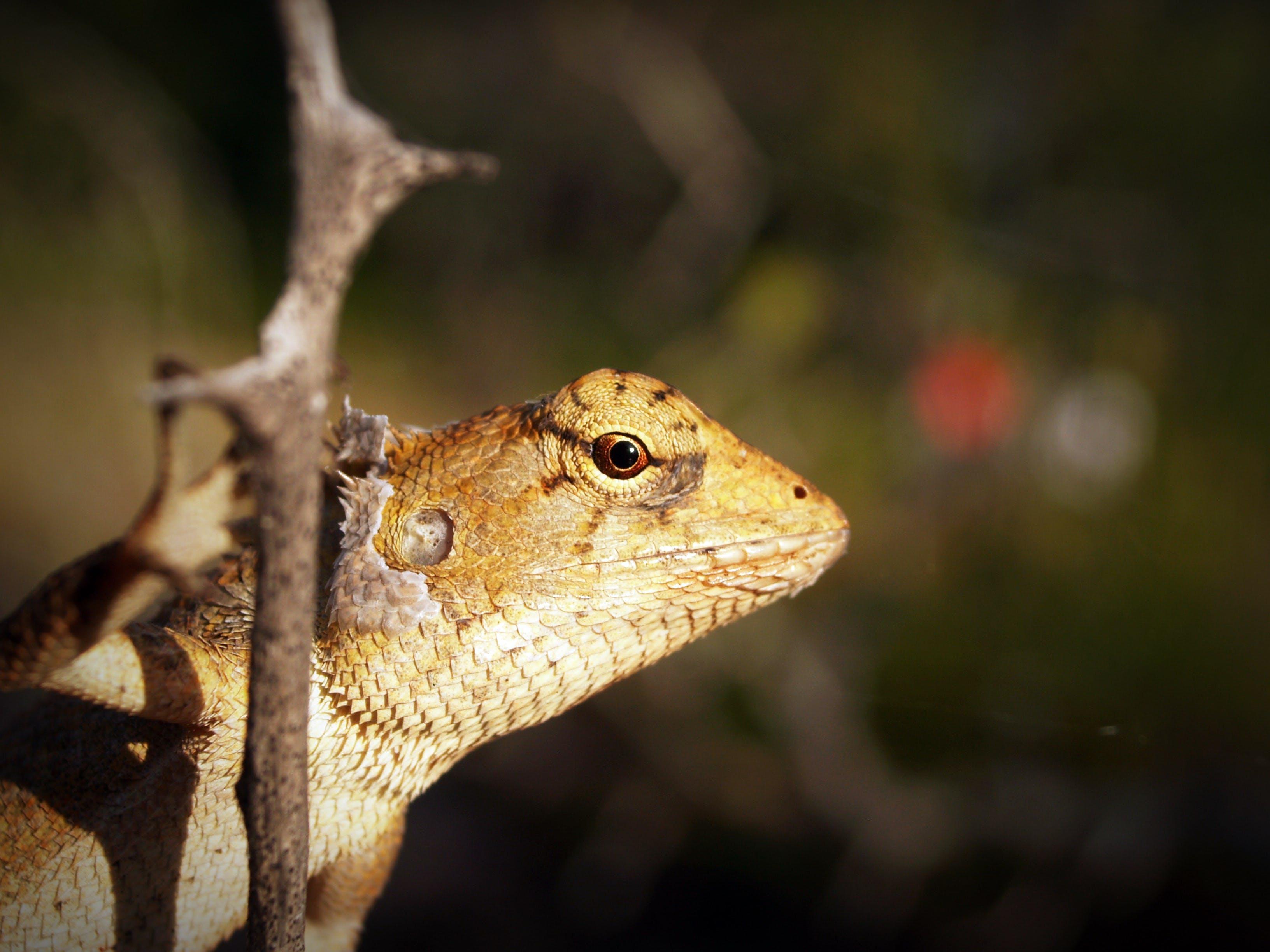 Základová fotografie zdarma na téma divočina, divoký, dřevo, gekon