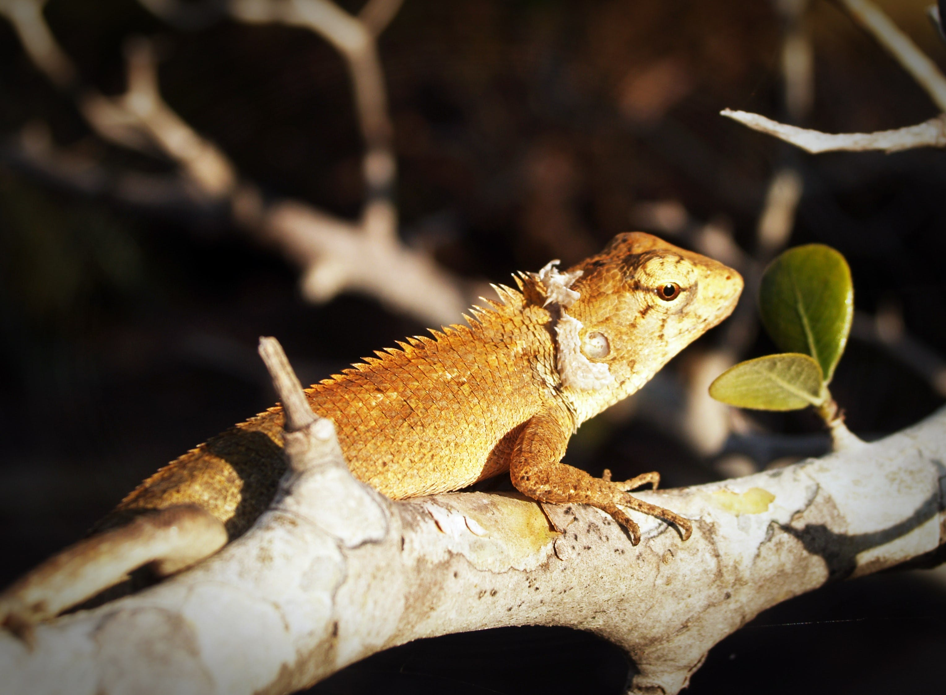 Brown Lizard on Branch