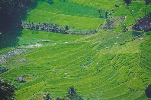Foto profissional grátis de arrozal, natureza, Sri Lanka