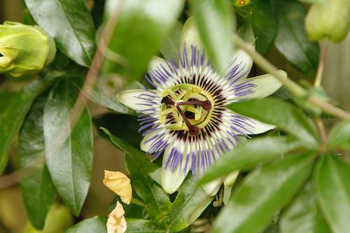 Foto d'estoc gratuïta de flor, flor de la passió, fruita de la passió, jardí