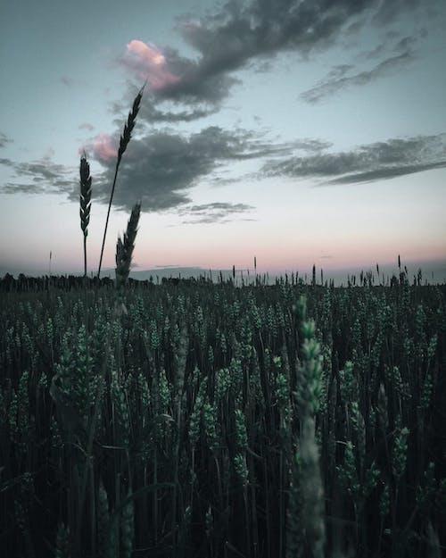 Foto d'estoc gratuïta de camp, capvespre, cel, collites