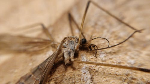 Free stock photo of corpse, crane fly, dead, macro
