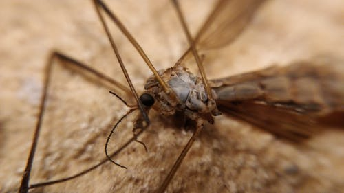 Free stock photo of corpse, cranefly, dead, macro