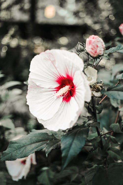Free stock photo of flower, flowers, garden, Hibiscus