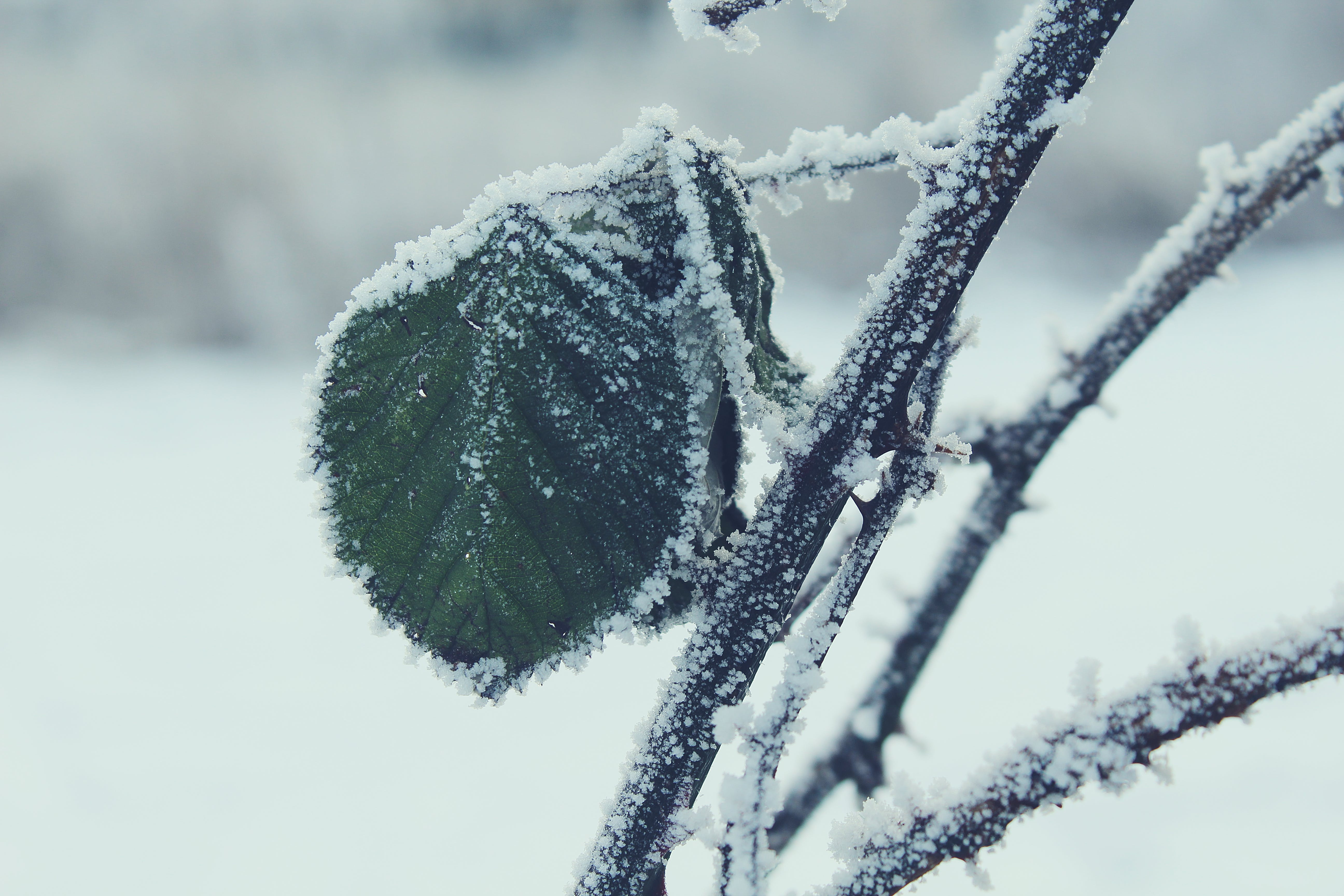 Selective Focus Photography of Green Leaf on Branch With Snow