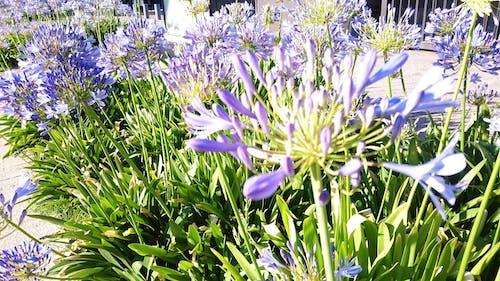 Ingyenes stockfotó ibolya, virágok témában