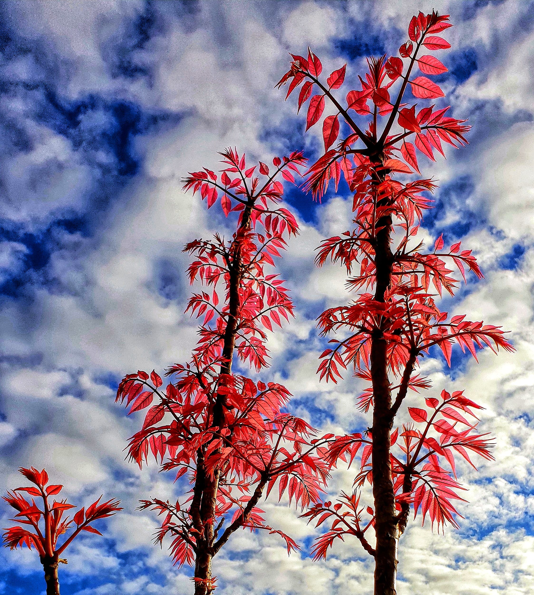 Free stock photo of cloudy sky, red foliage, red leaves, red. blue and white
