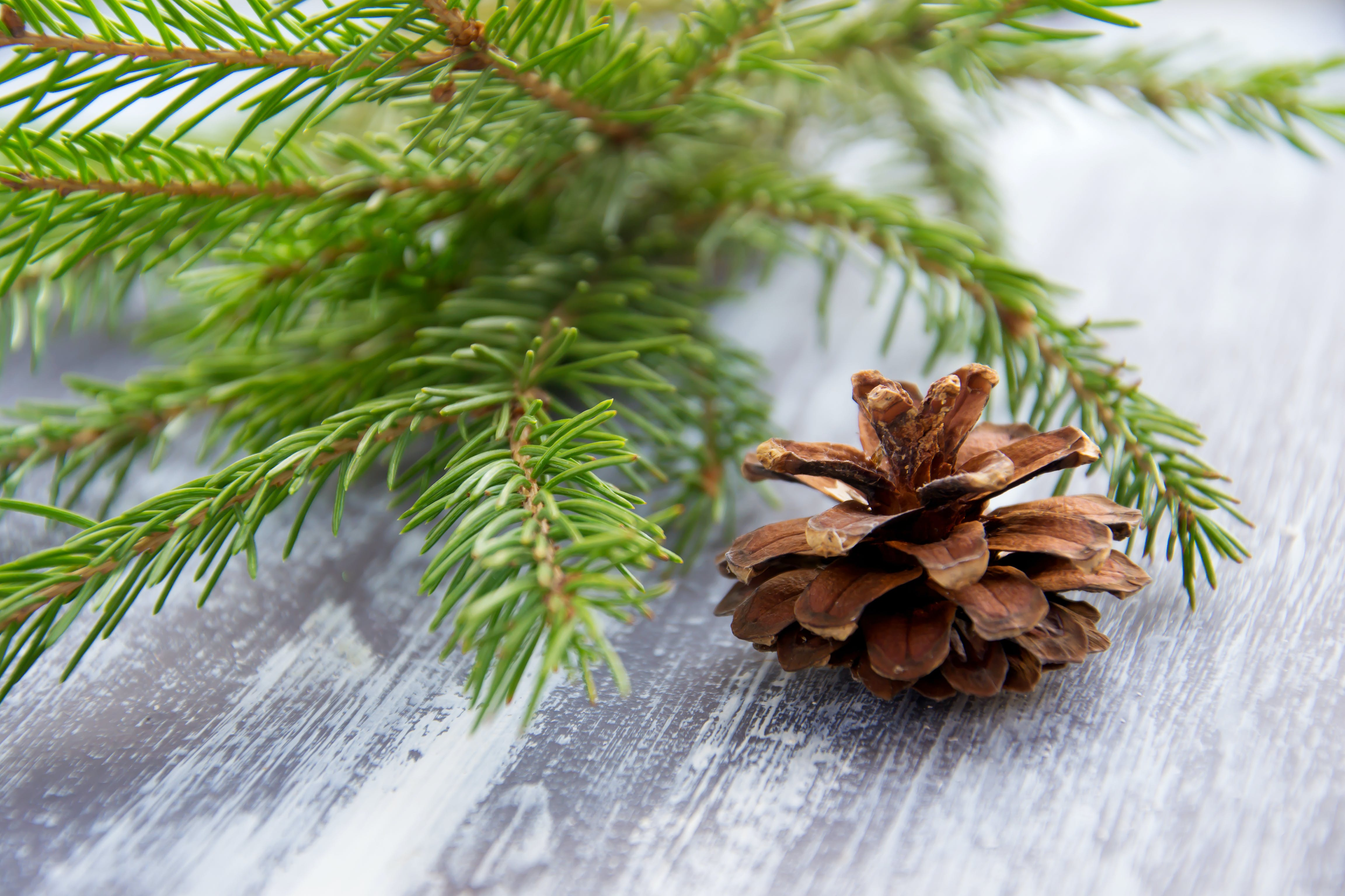 Close-UP Photo of Pine Cone