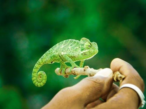 Gratis lagerfoto af dyr, grøn, kamæleon, krybdyr