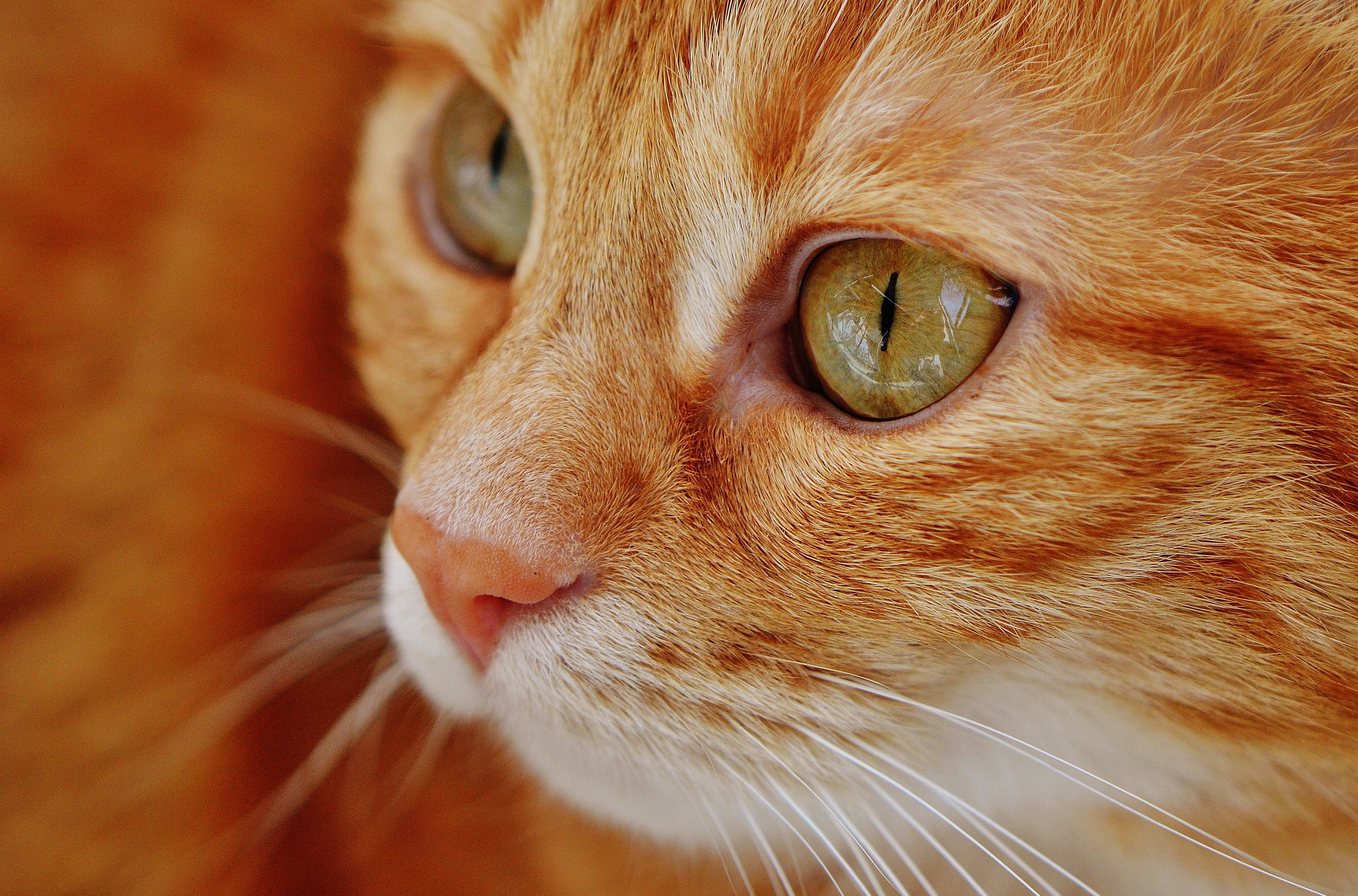 Selective Focus of Orange Tabby Cat