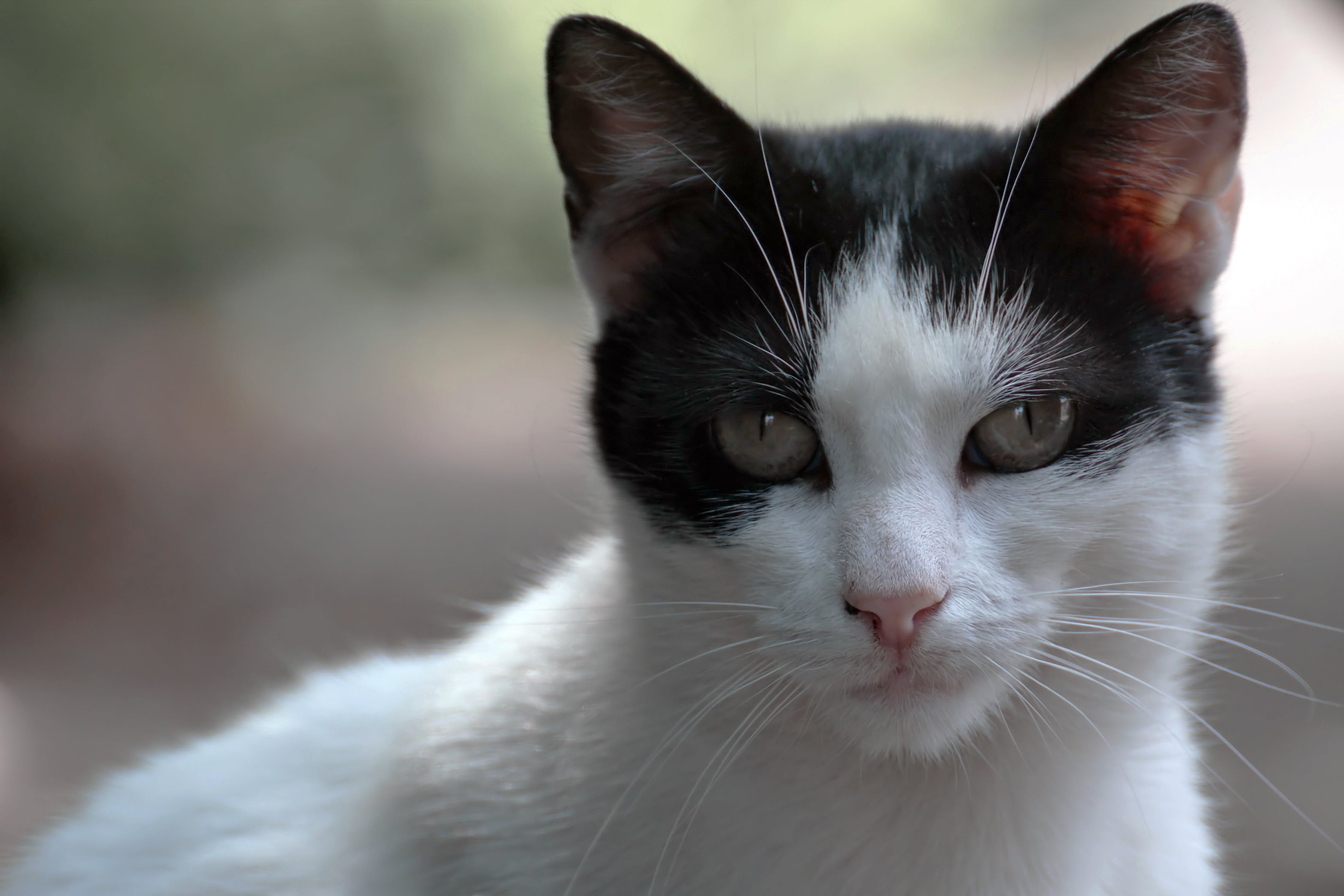 Close-Up Photo of Black And White Cat