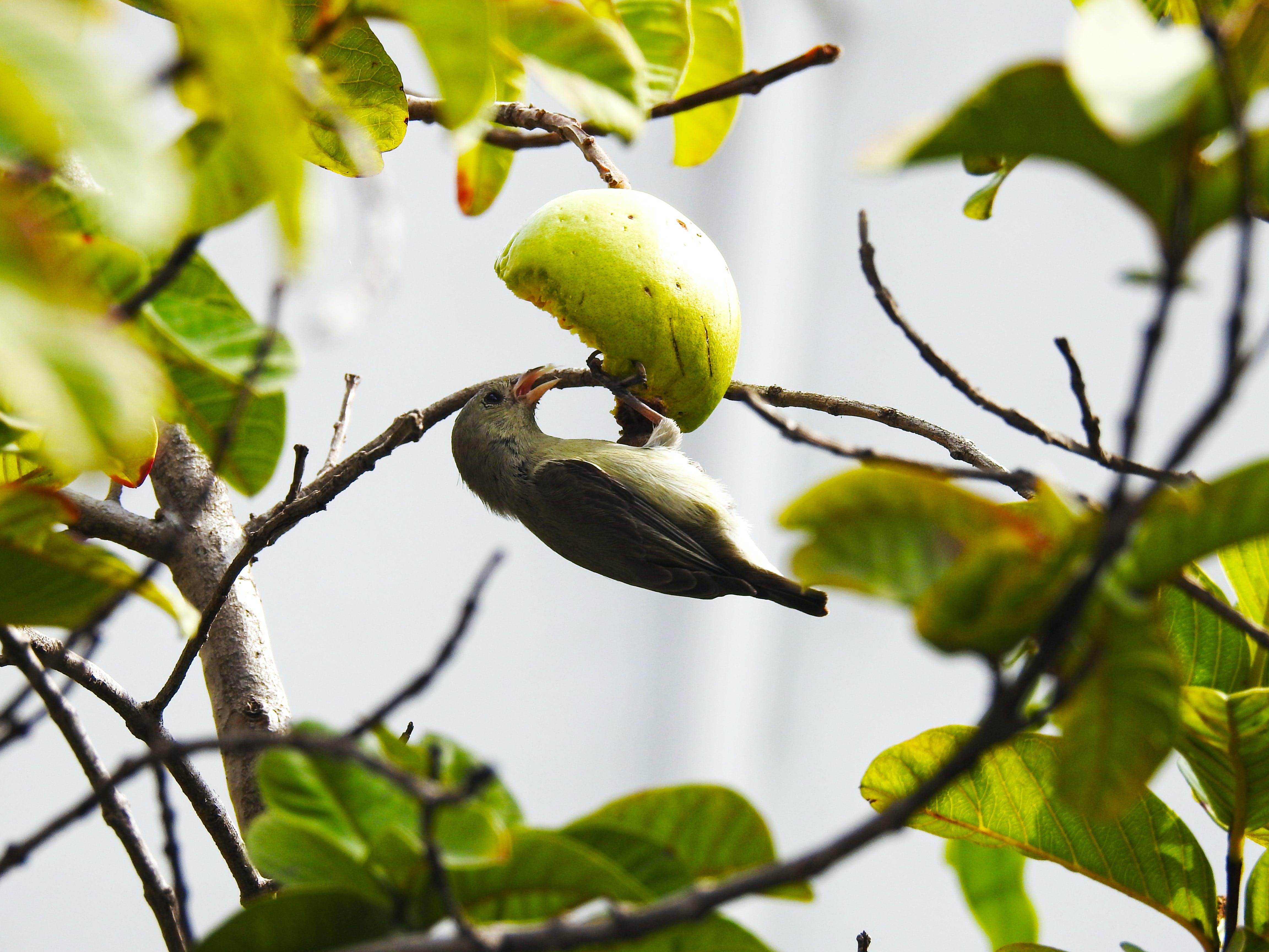 Bird Eating a Fruit