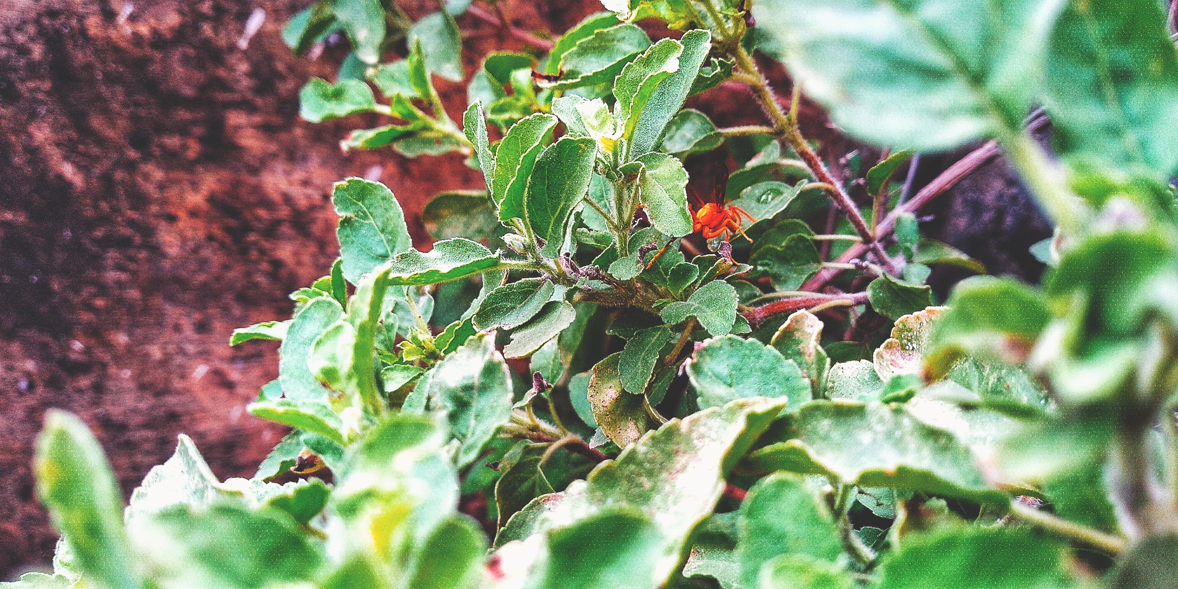 Δωρεάν στοκ φωτογραφιών με #insects, #leafs, #mobilechallenge, #ocimum tenuiflorum