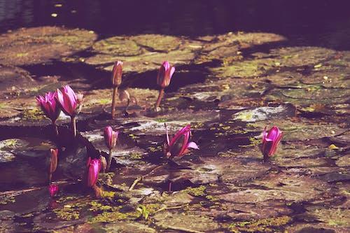 Бесплатное стоковое фото с ботанический сад, вода, индия, лотос