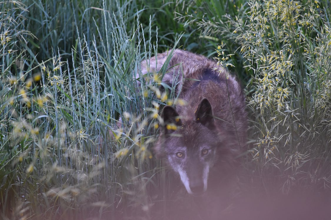 Wolf Hiding In Grasses