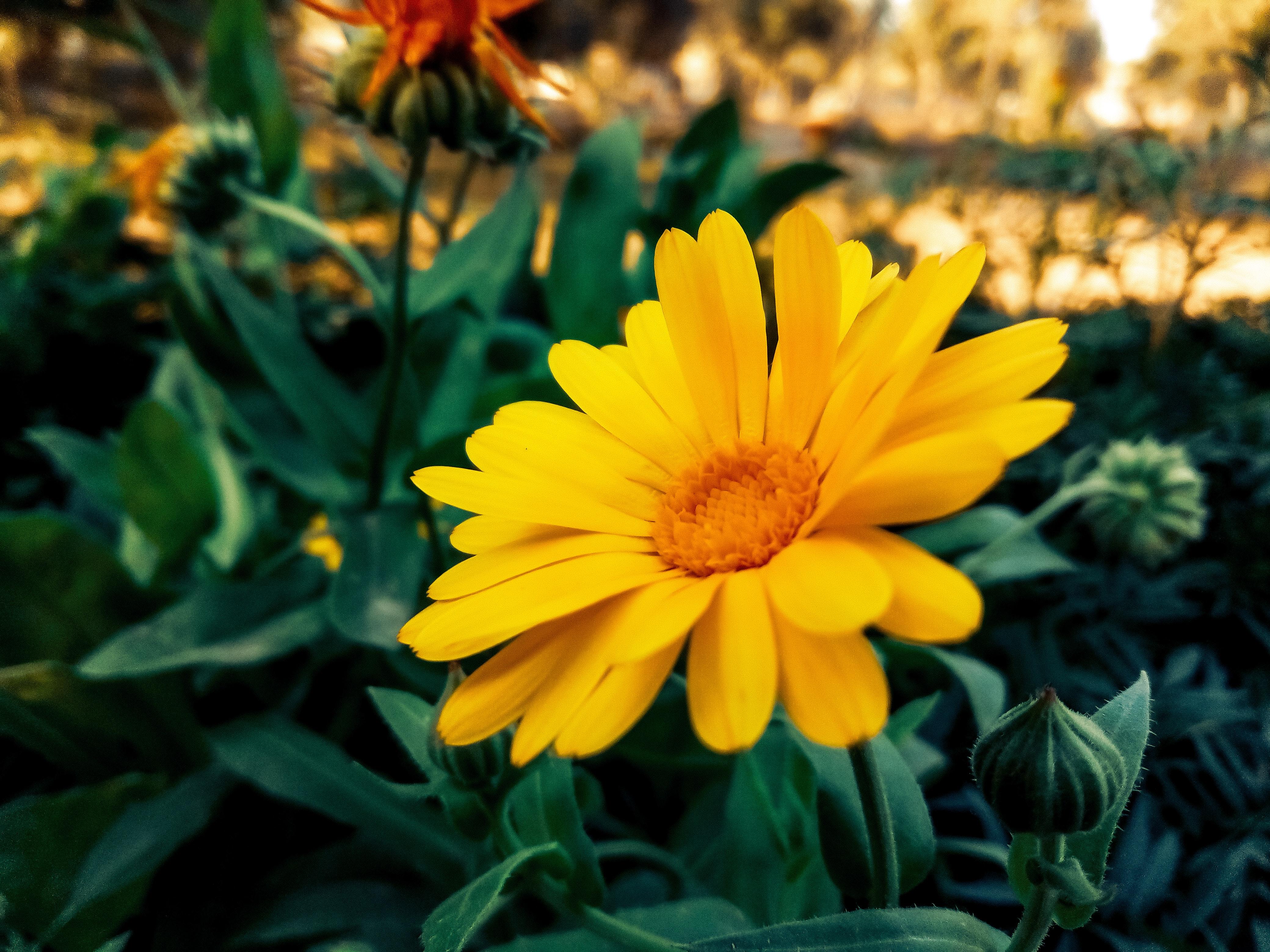 Foto Stok Gratis Tentang Bunga Matahari Cantik Indah