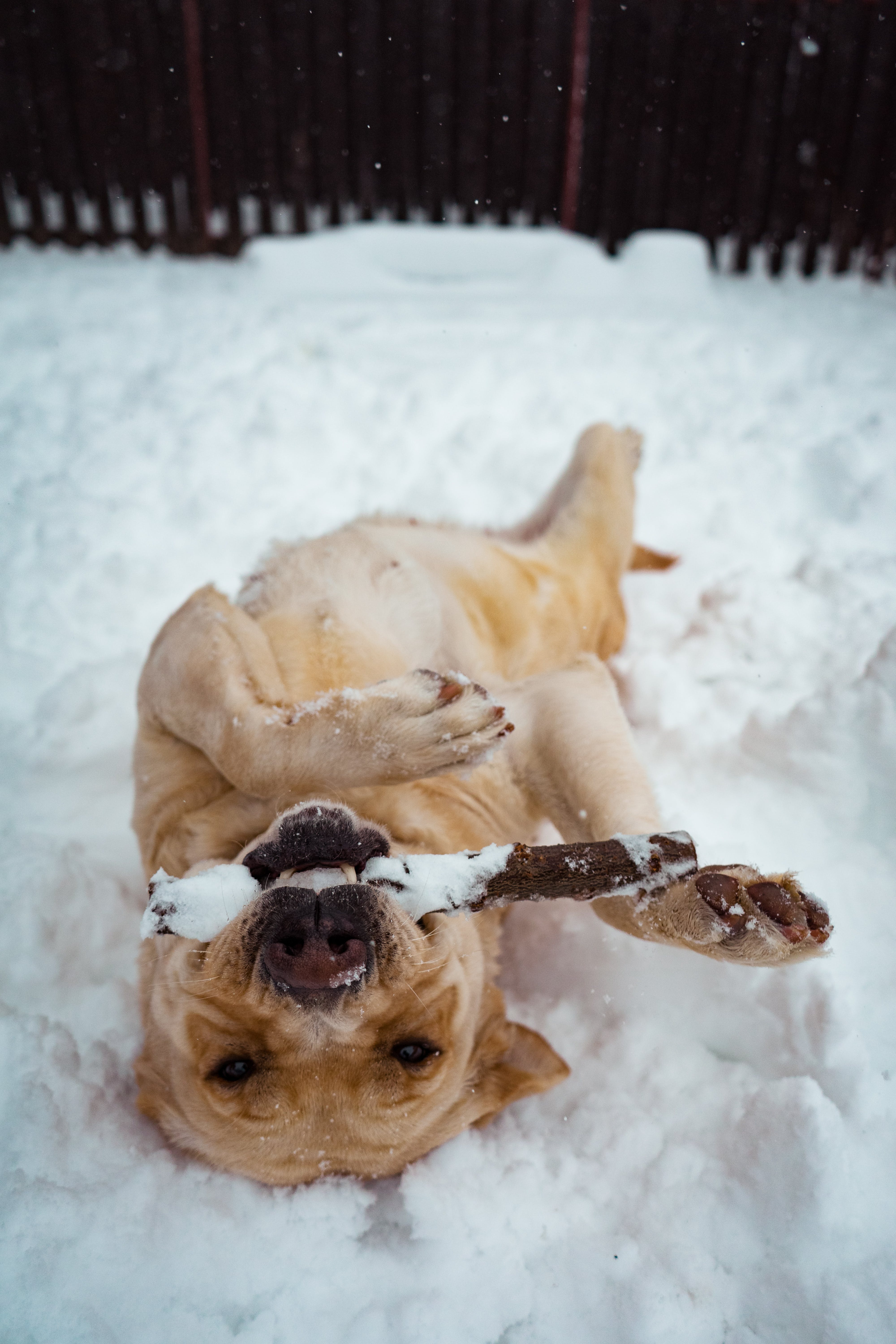 Short-coat Brown Dog Lying on Snow